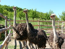 Young ostriches on a farm. Ostriches, birds, animals, feathers Stock Image