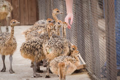 Young ostriches Royalty Free Stock Images