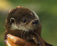 Young otter Stock Image