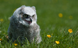 A young owl Stock Photography
