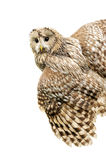 Young owl Royalty Free Stock Photos