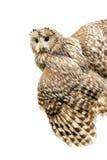 Young owl royalty free stock photos