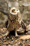 Young owl Stock Photography