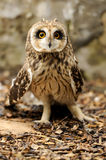 Young owl stock images