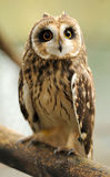 Young owl Royalty Free Stock Image