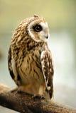 Young owl stock photos