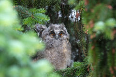 Young owl Royalty Free Stock Images