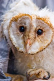 Young owl Royalty Free Stock Photography