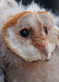 Young owl Stock Photo