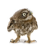 Young owl (4 weeks) Royalty Free Stock Photography