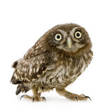 Young owl (4 weeks) Royalty Free Stock Photos