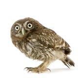 Young owl (4 weeks) Stock Photo