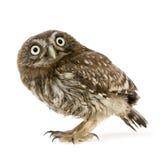 Young owl (4 weeks) Stock Image