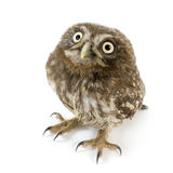 Young owl (4 weeks) Stock Photography