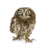 Young owl (4 weeks) Stock Images