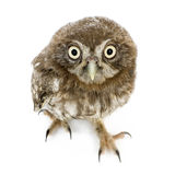 Young owl (4 weeks) Stock Image