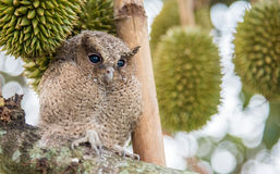 The young owl Royalty Free Stock Photos