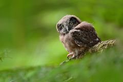 Young owl in forest. Owl in green vegetation habitat. Boreal owl, Aegolius funereus, sitting on larch tree trunk with clear green. Background royalty free stock photo