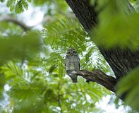 Young owl on green tree Royalty Free Stock Photography