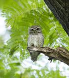 Young owl on green tree Royalty Free Stock Images
