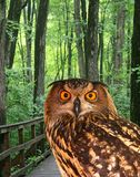 A young owl in a park Royalty Free Stock Image