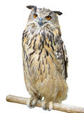Young owl perching Royalty Free Stock Photography