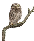 Young owl perching on branch Royalty Free Stock Images