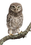 Young owl perching on branch. In front of white background Stock Image