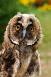 Young owl portrait Stock Image