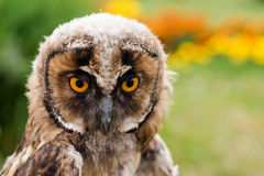 Young owl portrait. Young long-eared owl portrait Royalty Free Stock Photo