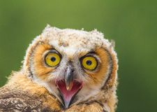 Young owl Royalty Free Stock Photo
