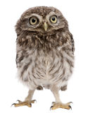 Young owl standing royalty free stock image