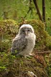 Furry owl baby. Royalty Free Stock Photo