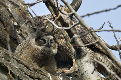 Young Owlet Being Groomed by Mom Stock Images