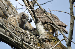 Young Owlet Devouring a Rodent Brought by Its Parent Royalty Free Stock Image