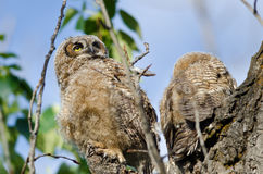 Young Owlet High In Its Nest Looking Across The Tree Tops Royalty Free Stock Images