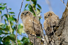 Young Owlet High In Its Nest Looking Across The Tree Tops Royalty Free Stock Photo