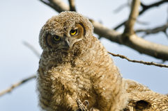 Young Owlet Making Direct Eye Contact From Its Nest Royalty Free Stock Photos
