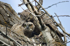 Young Owlet Making Eye Contact While Being Groomed by Mom Royalty Free Stock Photo