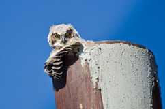 Young Owlet Making Eye Contact Royalty Free Stock Photos