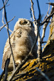 Young Owlet Scanning Across the Tree Tops Royalty Free Stock Images