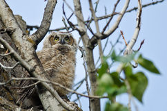 Young Owlet Scanning Across the Tree Tops Royalty Free Stock Photo