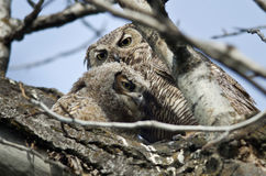 Young Owlet Spending Time With Mom Stock Photography