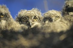 Young owls in nest at dusk Royalty Free Stock Photos