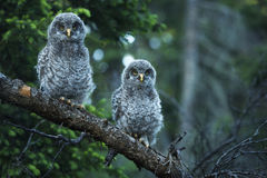 Young Owls Stock Images