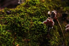 Young oyster mushrooms growing on a fallen tree. Green moss covering a tree in the forest stock photos