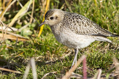 Young Pacific Golden Plover autumn day on Bering Royalty Free Stock Image