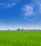 Young paddy field Royalty Free Stock Images