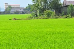 Young paddy field Stock Photo