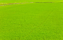 Young paddy field Royalty Free Stock Photos